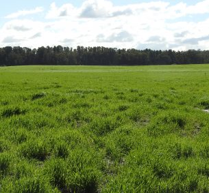 Grass growing at the Griffin coal mining site